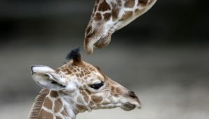 An unnamed new born male giraffe (L) is seen with his half-brother Dave at the Brookfield Zoo near Chicago, Illinois, July 3, 2013. The calf was born on June 21, and is the 59th giraffe born at the zoo. REUTERS/Jim Young  (UNITED STATES - Tags: ANIMALS) - RTX11BPA