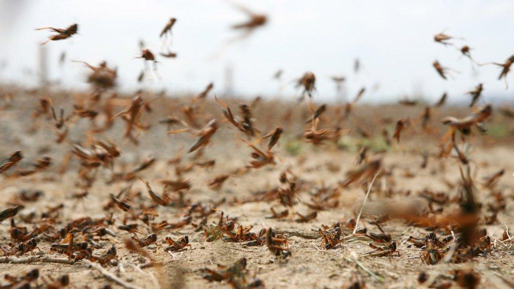 На борьбу с саранчой и вредителями помидоров в Согде выделено 300 тысяч сомони