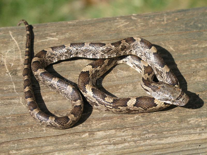 крысиный змей